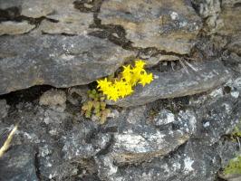 noTAV, fiori di montagna,