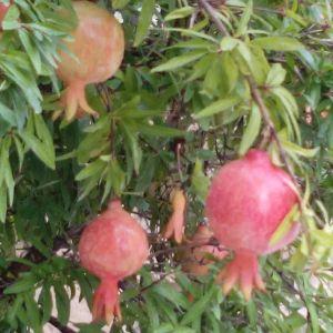 autunno, melograni
