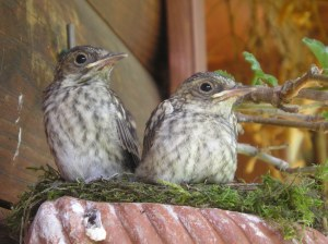 implumi all'uscita dal nido