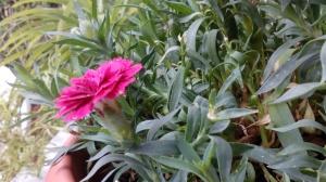 fiore, garofano